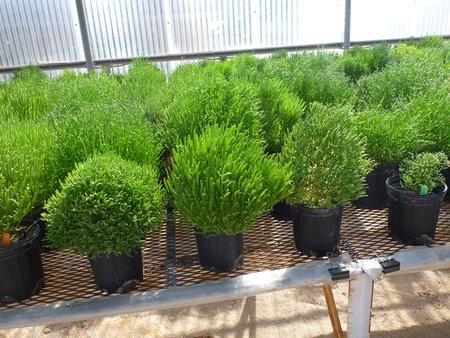 Les plantes halophytes utilisées par Boeing et le SBRC (photo © Boeing)